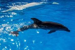 Powabny delfin w błękitne wody, aquapark rozrywka zdjęcie royalty free