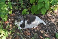 Powabny kot i sadło - atrakcyjny (zwierzęta i nat Obraz Stock