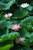 powabny lotos Fotografia Stock