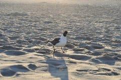 Powabny seagull Obraz Stock