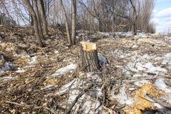 Powalać drzewa Fiszorek i drewniani układy scaleni Pojęcie zła ekologia rozbiór mięsa na dół drzewa fotografia royalty free