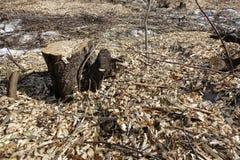 Powalać drzewa Fiszorek i drewniani układy scaleni Pojęcie zła ekologia rozbiór mięsa na dół drzewa zdjęcia royalty free