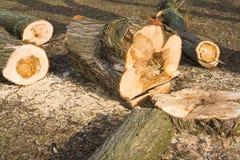 powalać chory drzewo Fotografia Stock