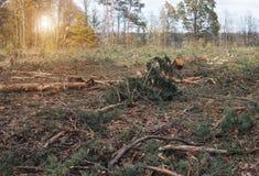 Powalać i powalać las, walka przeciw lasowemu cwelichowi, zniszczenie drzewa cwelichem, ekologia, zasada, słońce obraz royalty free