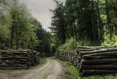 Powalać Bukowi drzewa dla meble Fotografia Stock