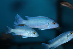 Powder Blue Cichlid Stock Image