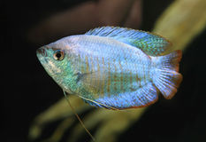 Powder Blue Dwarf Gourami in an Aquarium Stock Images