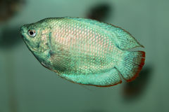 Powder Blue Dwarf Gourami aquarium fish Stock Photo
