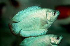 Powder Blue Dwarf Gourami aquarium fish Royalty Free Stock Photo