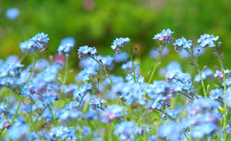 Powder blue forget-me-not Stock Photos