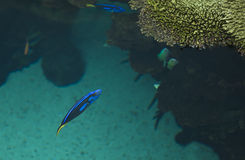 Powder-blue surgeonfish Royalty Free Stock Photography