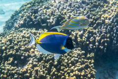 Powder blue surgeonfish. Acanthurus leucosternon swimming around the reef Stock Photography