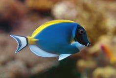 Powder blue surgeonfish. Close-up view of Powder blue surgeonfish Stock Photo