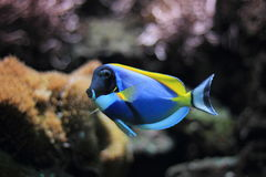 Powder-blue surgeonfish. Floating in water Stock Photography