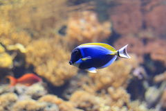 Powder-blue surgeonfish. Floating in water Royalty Free Stock Photography
