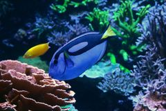Powder blue surgeonfish swimming past coral reef Royalty Free Stock Photo