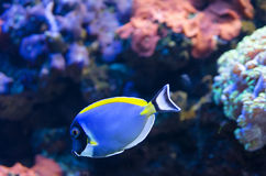 Powder Blue Surgeonfish Stock Photo