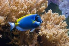 Powder Blue Tang. (Surgeonfish) Acanthurus leucosternon Stock Photos