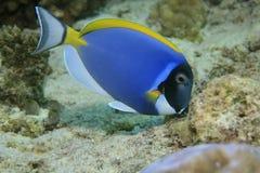 Powder blue tang Royalty Free Stock Photo