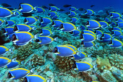 Powder blue tang. Shoal of powder blue tang in the coral reef royalty free stock photos
