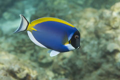 Powder blue tang (Acanthurus leucosternon) in Andaman sea, Thail Stock Images