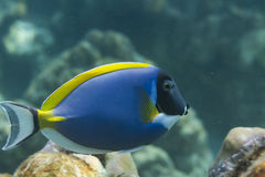 Powder blue tang (Acanthurus leucosternon) in Andaman sea, Thail Royalty Free Stock Images