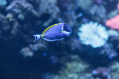 Powder blue tang, Acanthurus leucosternon. Is a surgeonfish found in the tropical waters of the Indian Ocean Stock Image