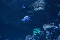 Powder blue tang, Acanthurus leucosternon. Is a surgeonfish found in the tropical waters of the Indian Ocean Stock Images