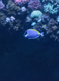 Powder blue tang, Acanthurus leucosternon. Is a surgeonfish found in the tropical waters of the Indian Ocean Royalty Free Stock Images