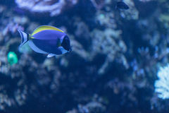 Powder blue tang, Acanthurus leucosternon. Is a surgeonfish found in the tropical waters of the Indian Ocean Royalty Free Stock Photos