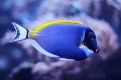 Powder blue tang (Acanthurus leucosternon) Royalty Free Stock Images