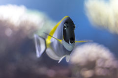 Powder blue tang (AKA powderblue surgeonfish) Royalty Free Stock Photography