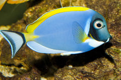 Powder Blue Tang in Aquarium Stock Images