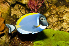 Powder Blue Tang in Aquarium Stock Photography