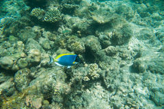 Powder Blue tang, Blue fish above corals reef Royalty Free Stock Photo