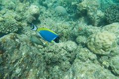 Powder Blue tang, Blue fish swim above corals Royalty Free Stock Photo
