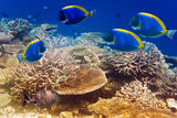 Powder blue tang in the coral reef.Underwater landscape in a sunny day Stock Image
