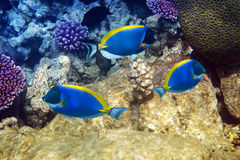 Powder blue tang in corals.Underwater landscape in a sunny day Royalty Free Stock Images