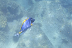 Powder Blue Tang Stock Images