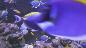 Powder Blue Tang and Lyretail Anthias in saltwater aquarium stock footage video stock video footage