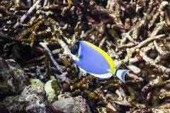 Powder blue tang at Surin national park Stock Photography