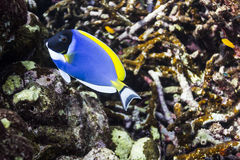 Powder blue tang at Surin national park Royalty Free Stock Photo