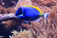 Powder blue tang Stock Photography
