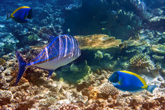 Powder blue tang and tuna in corals.Underwater landscape Stock Photo