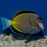 Powder Brown Tang Acanthurus japonicus. The Powder Brown Tang, also known as the Powder Brown Surgeonfish, Japan Surgeonfish, and White-faced Surgeonfish, has a Stock Photos