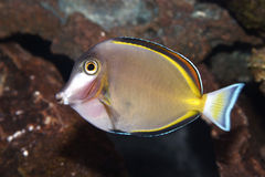 Powder Brown Tang Fish Royalty Free Stock Photos