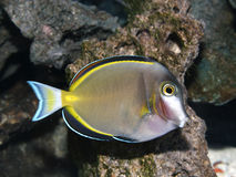 Powder Brown Tang Fish Royalty Free Stock Photo
