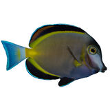 Powder Brown Tang Isolated. The Powder Brown Tang, also known as the Powder Brown Surgeonfish, Japan Surgeonfish, and White-faced Surgeonfish, has a brown body royalty free stock image