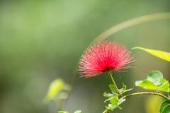 Powder puff flower close up Stock Photo