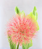 Powder puff lily. Or Haemanthus multiflorus (Tratt.) Martyn on white background Royalty Free Stock Photos